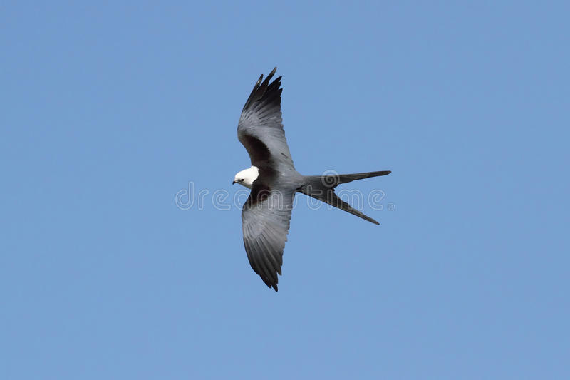 Cerf-volant Swallow-tailed images libres de droits