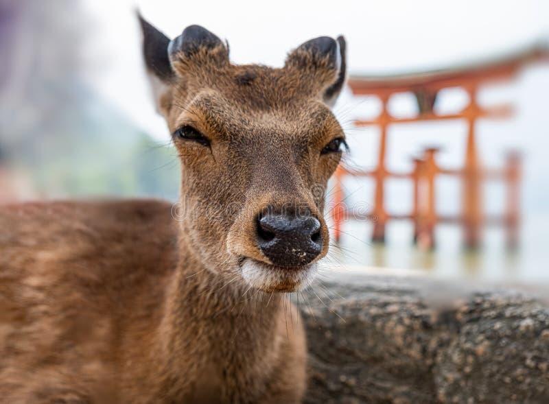 Cerfs communs à l'île de Miyajima, préfecture d'Hiroshima, Japon image stock