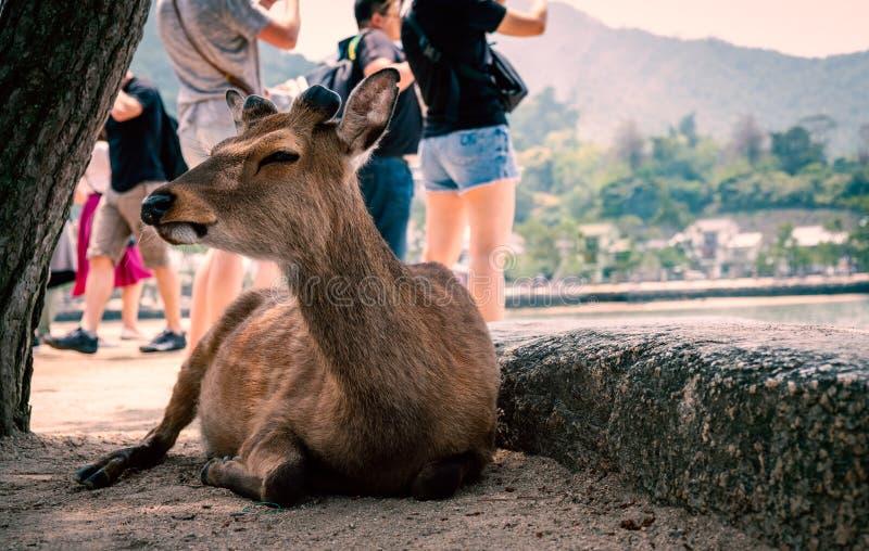 Cerfs communs à l'île de Miyajima, préfecture d'Hiroshima, Japon photos libres de droits