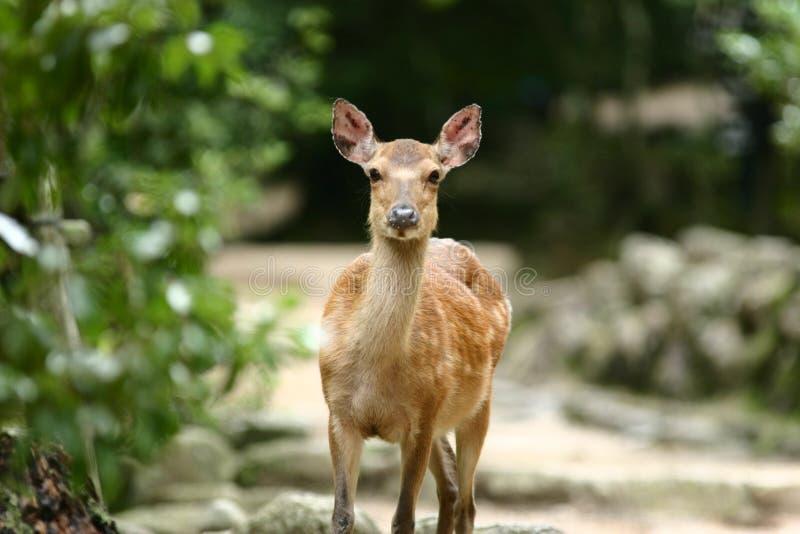 Cerfs communs à Miyajima images libres de droits