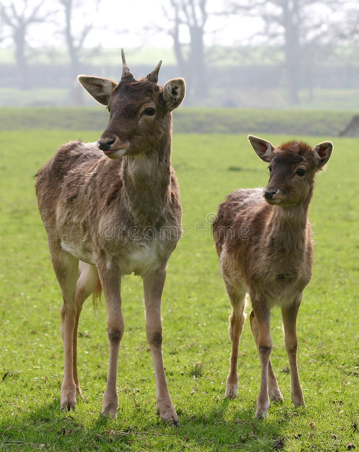 Cerfs communs photos stock