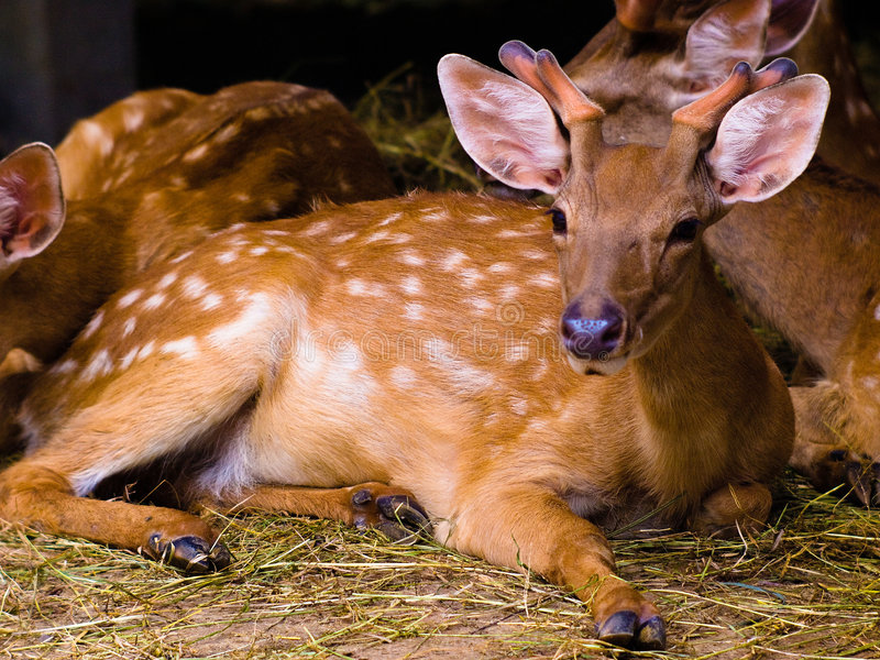 Cerfs communs photo libre de droits