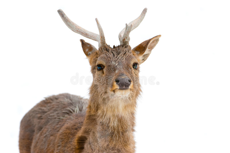 cerfs communs images stock