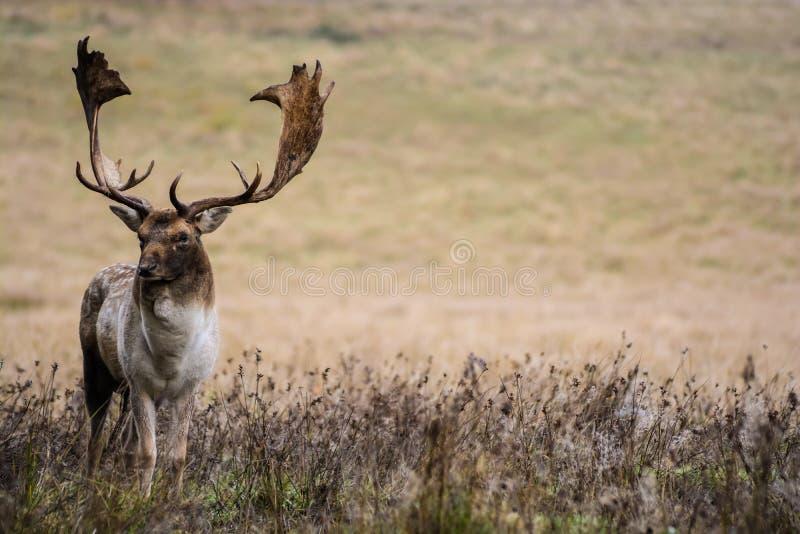 Cerfs communs adultes images stock