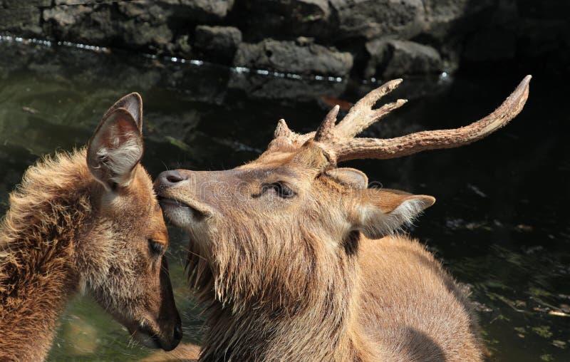 Cerfs communs affectueux image stock