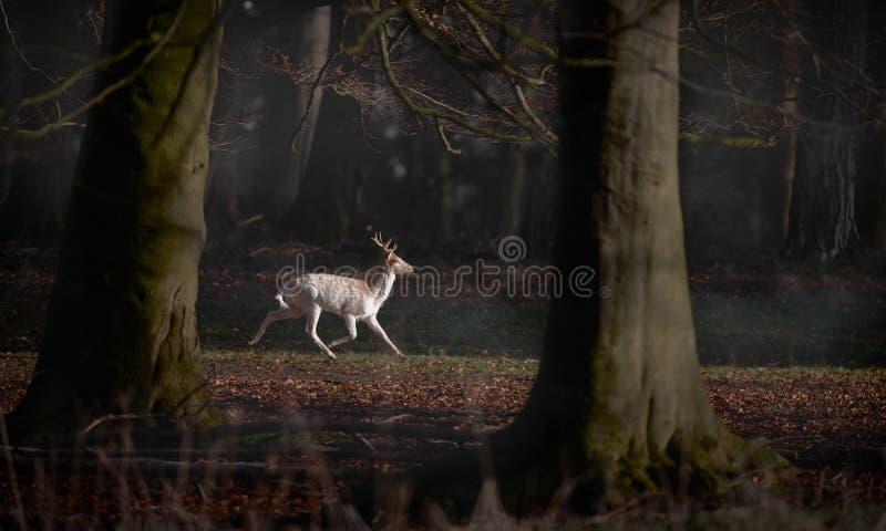 Cerfs communs affrichés blancs Buck Running Through Forest photos stock