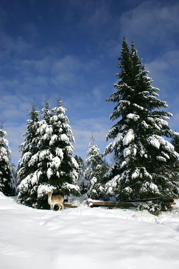 Cerfs communs affrichés dans la neige image stock