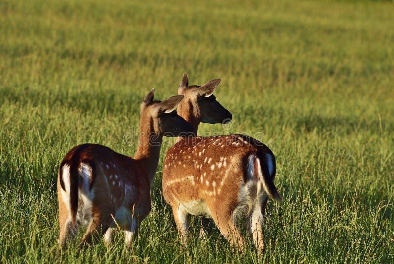 Cerfs communs affrichés dans le dama léger égalisant de Dama photographie stock libre de droits