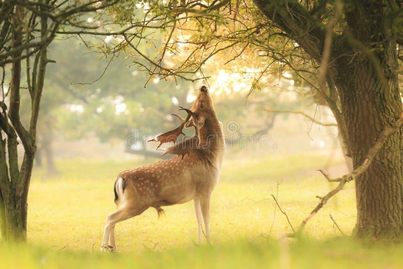 Cerfs communs affrichés masculins, Dama de Dama, forageant pendant le sunsrise images stock