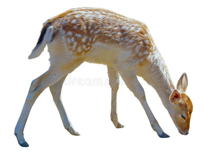 Cerfs communs affrichés repérés d'isolement sur le blanc images stock