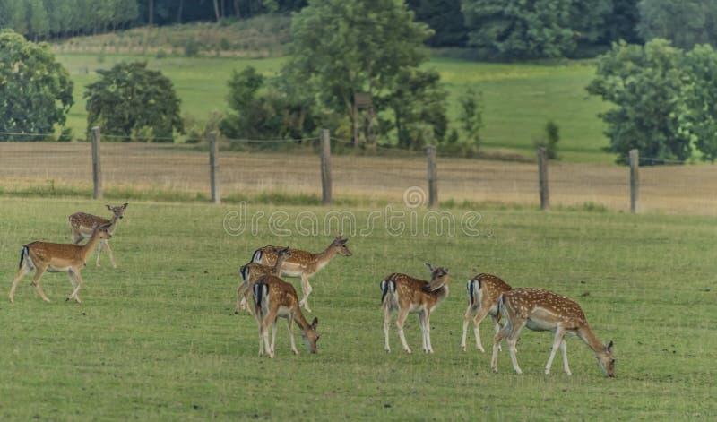 Cerfs communs affrichés sur le pré en montagnes de Krkonose images stock