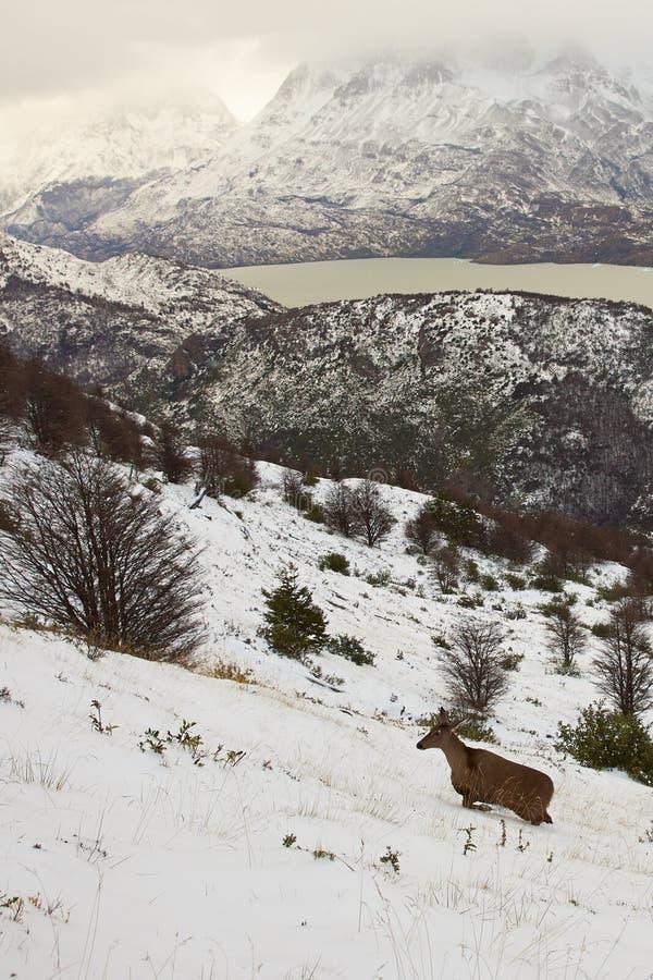 Cerfs communs andins du sud images libres de droits