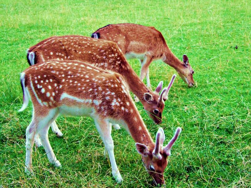cerfs communs, animal, faune, mammifère, faon, herbe, sauvage, nature, jachère, daine, jeune, brun, vert, andouillers, mâle, bébé image stock