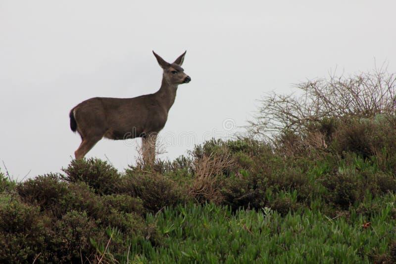 Cerfs communs au Bodega Marine Laboratory ( image stock