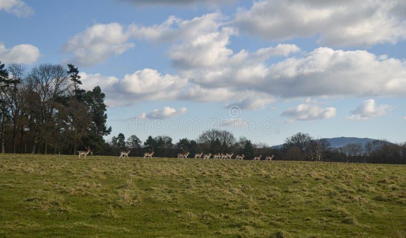 Cerfs communs au parc d'Attingham au Shropshire image stock