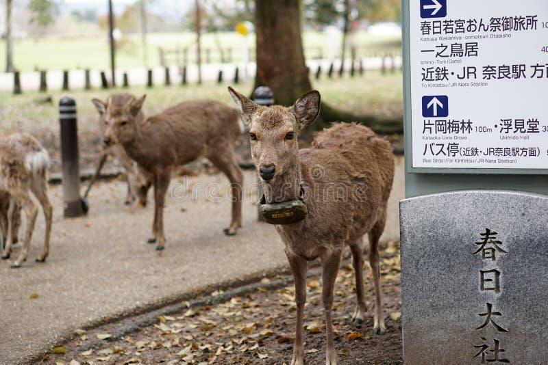 Cerfs communs au parc de cerfs communs, Nara, Japon photo libre de droits