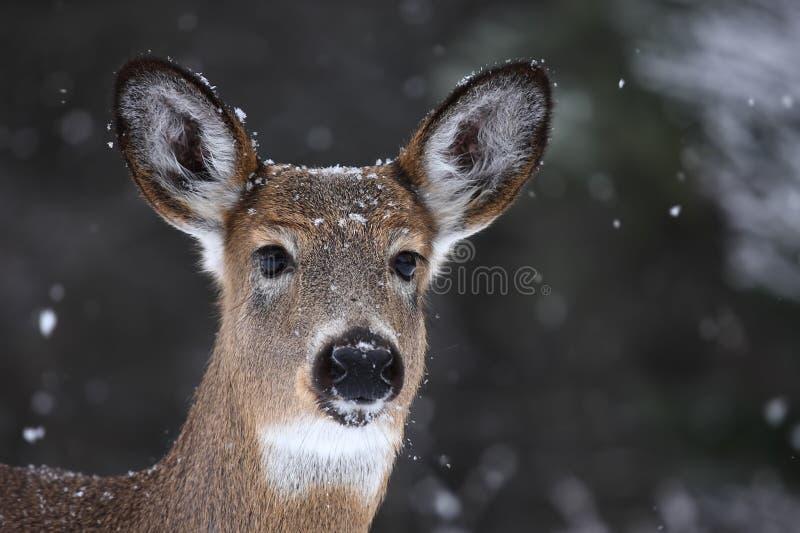 cerfs communs Blanc-coupés la queue photographie stock