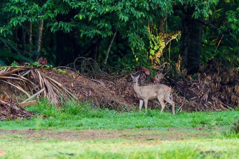 cerfs communs Blanc-coupés la queue et x28 ; Virginianus& x29 d'Odocoileus ; en Costa Rica photos stock