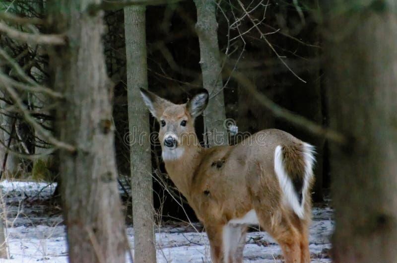 cerfs communs Blanc-coup?s la queue - Ontario, Canada photographie stock