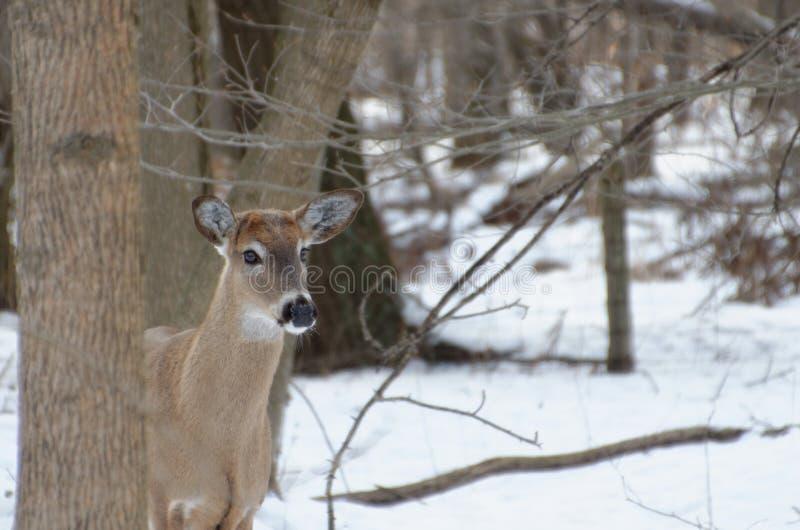 cerfs communs Blanc-coup?s la queue - Ontario, Canada photos stock