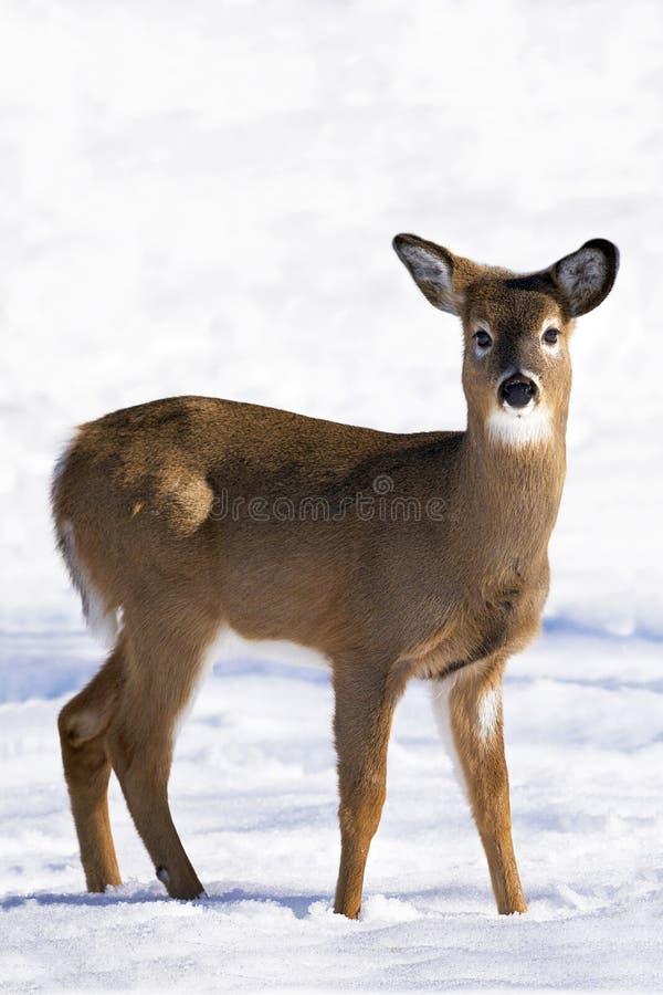 cerfs communs Blanc-suivis en hiver image libre de droits