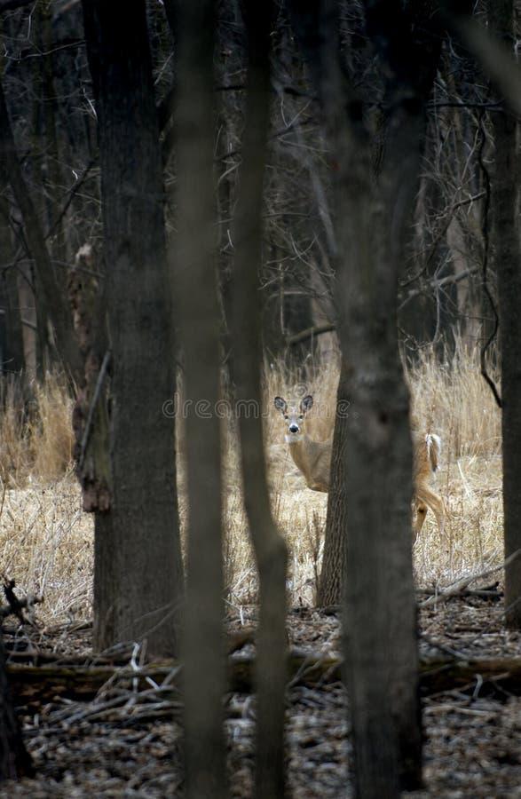 Cerfs communs Blanc-Suivis (virginianus d'Odocoileus) par les bois photos libres de droits