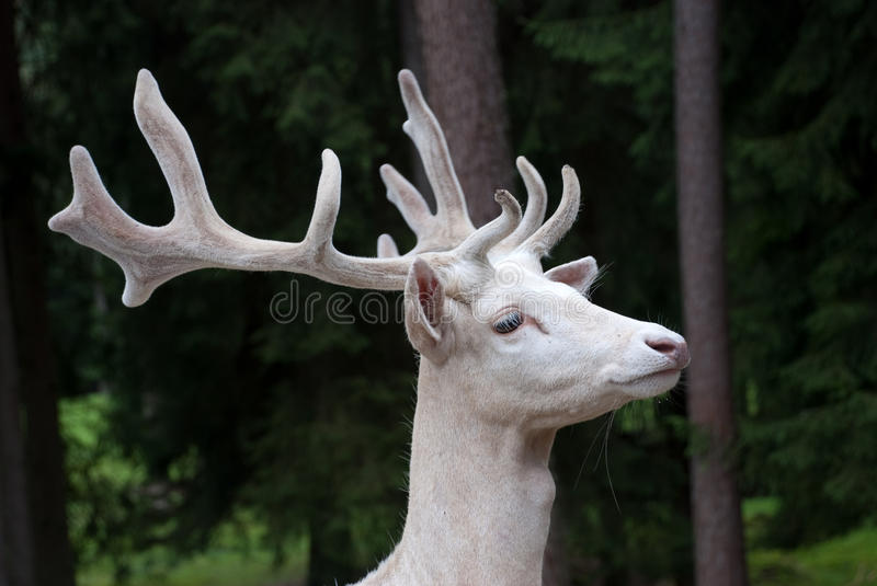 Cerfs communs blancs images stock