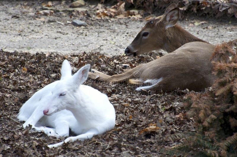 Cerfs communs blancs photo libre de droits