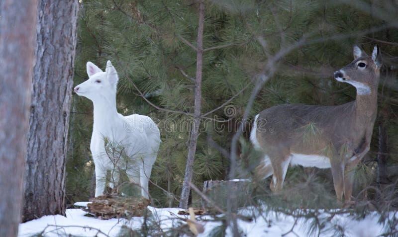 Cerfs communs blancs et blanc-coupés la queue en hiver image libre de droits