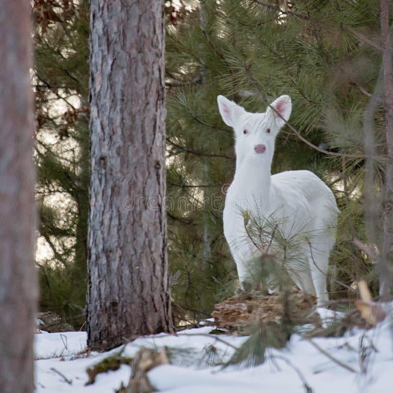 Cerfs communs blancs et blanc-coupés la queue en hiver photos libres de droits