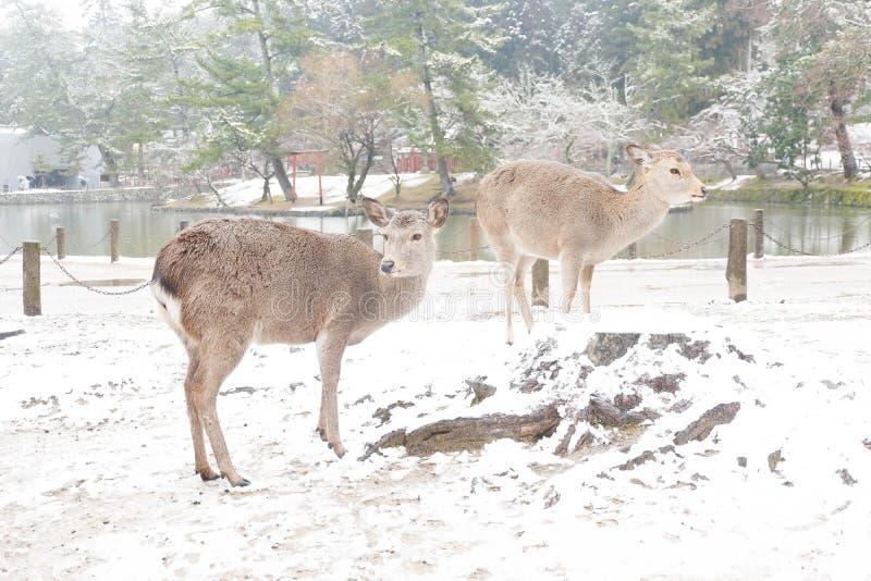 Cerfs communs chez Nara Park images libres de droits