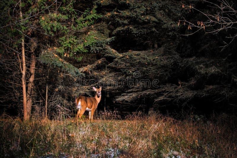 Cerfs communs coupés la queue par blanc dans les bois photo libre de droits