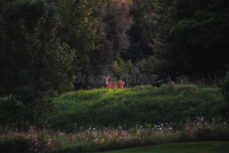 Cerfs communs coupés la queue par blanc en été image libre de droits