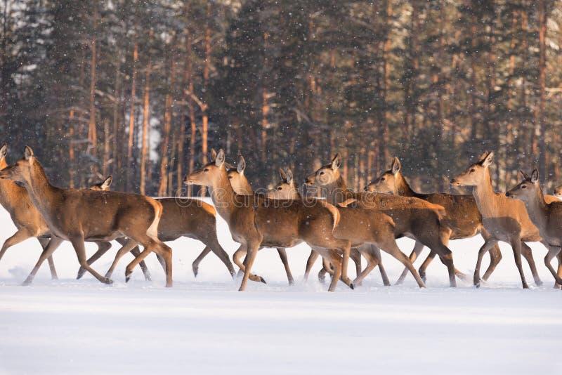 Cerfs communs courus sur la neige Troupeau nombreux de Cervus Elaphus de cerfs communs, illuminé par la lumière de matin, course  photographie stock libre de droits