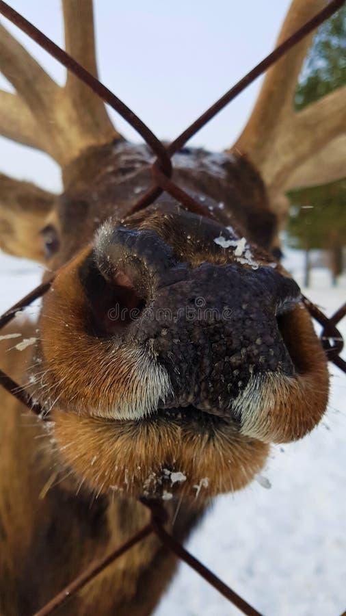 Cerfs communs curieux photos stock