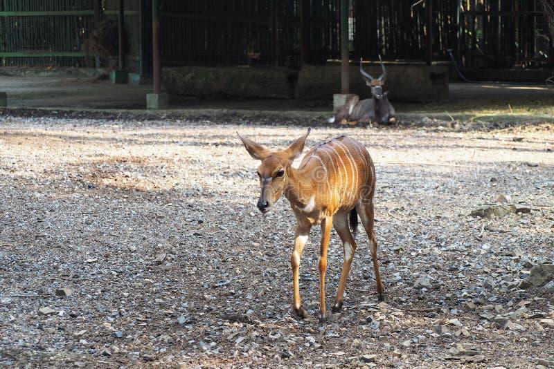 Cerfs communs d'écorcement de Fea au zoo photographie stock libre de droits