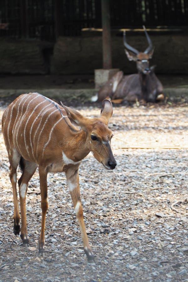 Cerfs communs d'écorcement de Fea au zoo photos stock