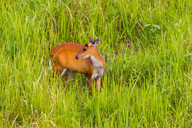 Cerfs communs d'écorcement femelles (cerfs communs de Muntjacs ou de Mastreani) images libres de droits