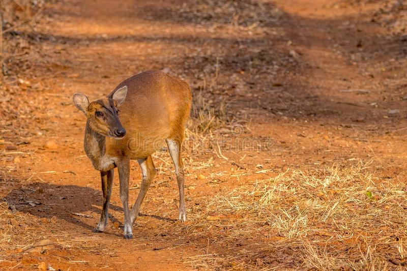 Cerfs communs d'écorcement recherchant la nourriture à la réservation de tigre de collines de Br photographie stock libre de droits