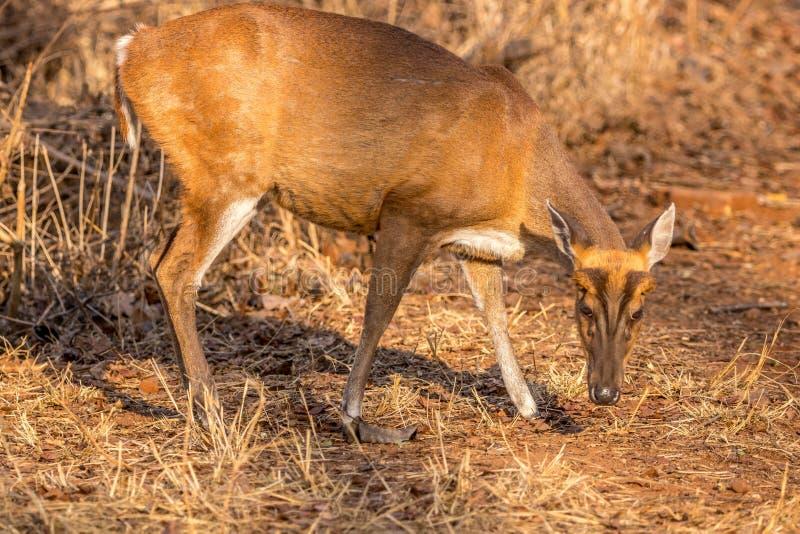 Cerfs communs d'écorcement recherchant la nourriture à la réservation de tigre de collines de Br image libre de droits