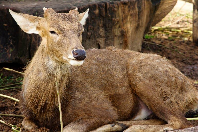Download Cerfs communs d'axe photo stock. Image du forêt, visage - 45364148