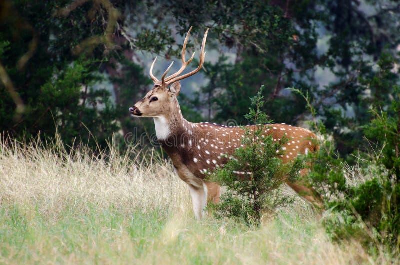 Download Cerfs Communs D'axe En Bois De Flottage Le Texas Image stock - Image du deer, faune: 77154067