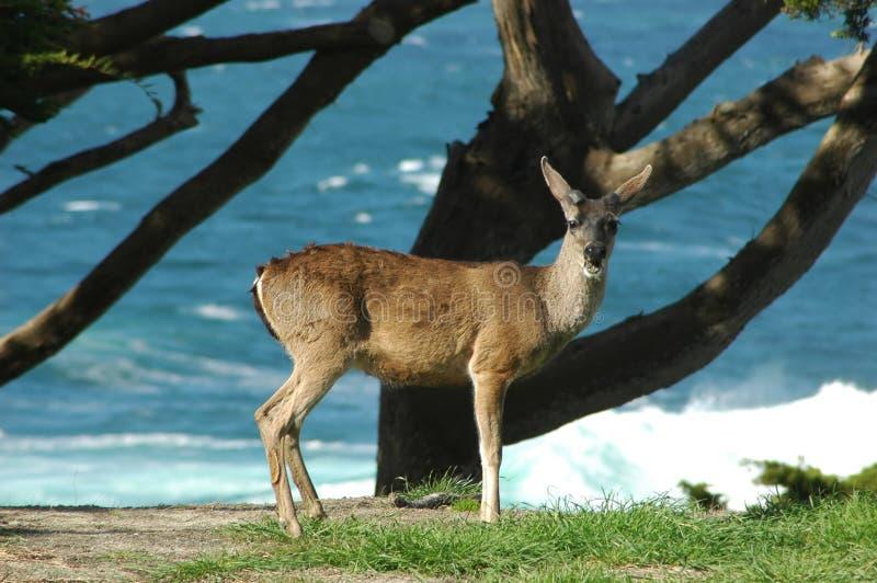 Cerfs communs d'Oceanside photographie stock libre de droits