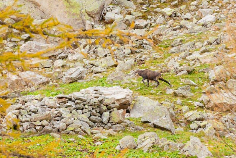 Cerfs communs d'oeufs de poisson des Alpes de Piémont photo stock