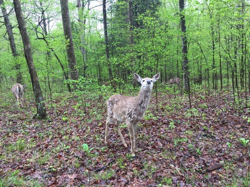 Cerfs communs dans l?g?rement la surface bois?e mangeant des feuilles comme d'autres se tiennent tout pr?s photographie stock