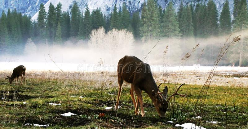 Cerfs communs dans l'horaire d'hiver images stock