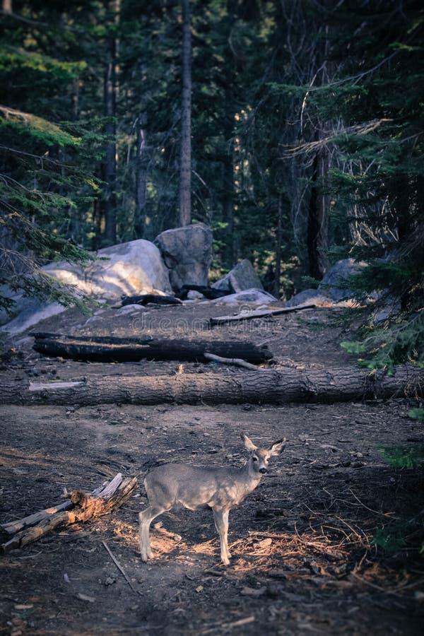 Cerfs communs dans la forêt images stock