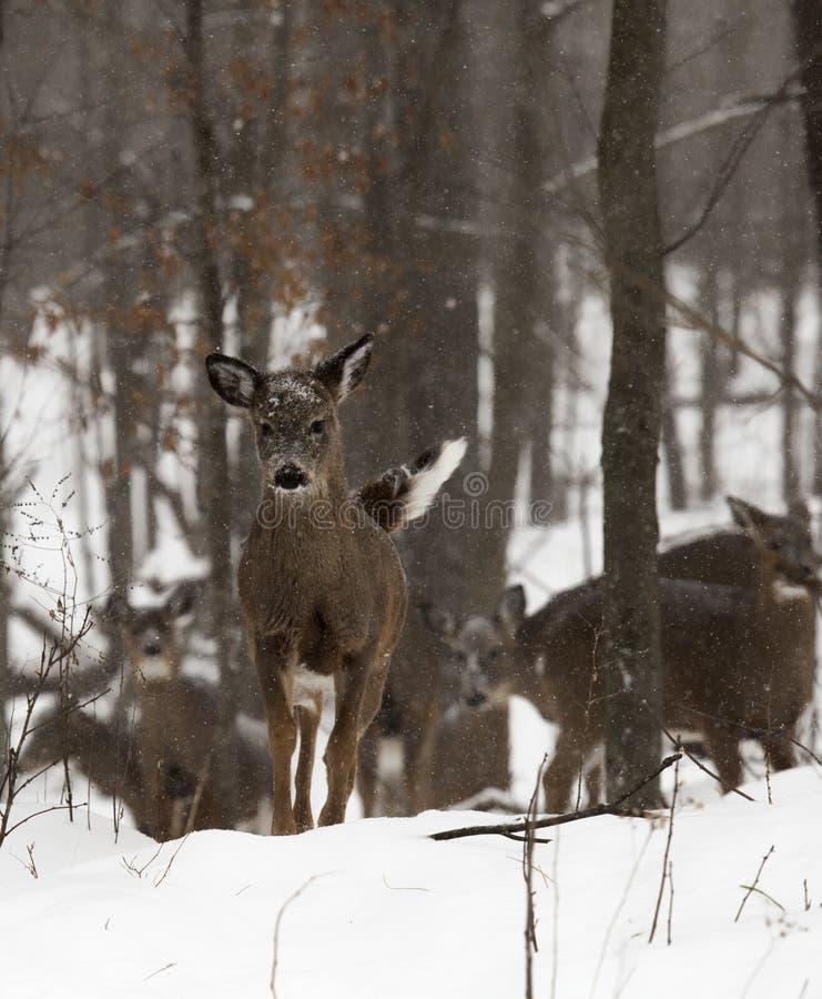 Cerfs communs dans la neige images libres de droits
