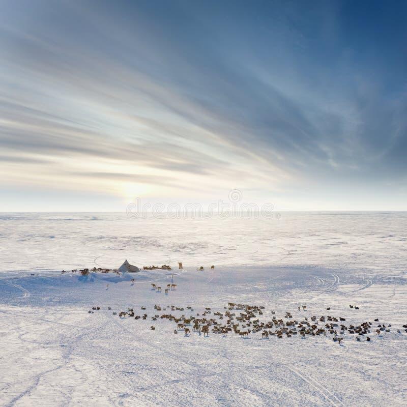 Cerfs communs dans la toundra d'hiver près du yurt nomade, vue supérieure image stock