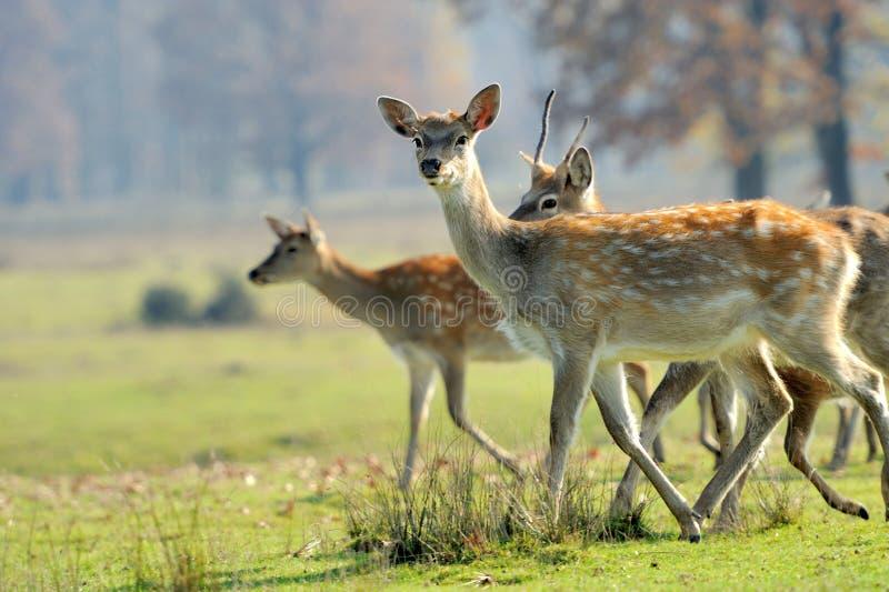 Cerfs communs dans le domaine d'automne photos stock